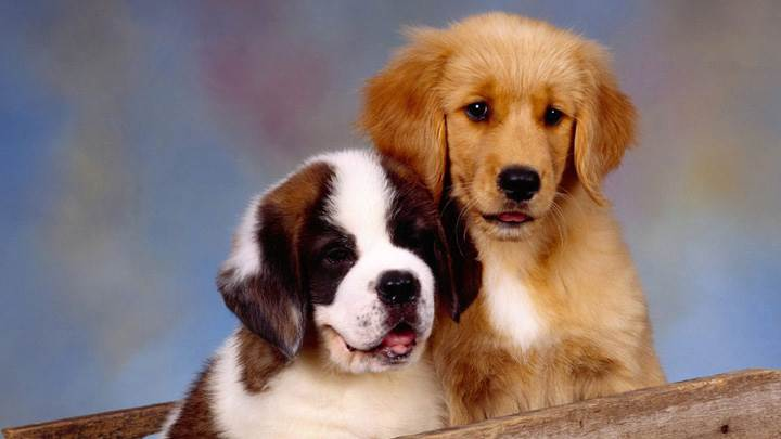 It Takes Two, St Bernard And Golden Retriever